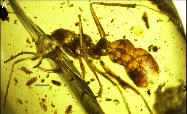 აღმოჩენილია ქარვაში ჩაჭედილი უძველესი ვამპირი ჭიანჭველა მეტალის საცეცებით