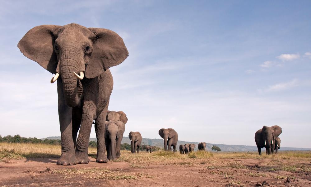 დადასტურებულია სპილოს ახალი სახეობის არსებობა