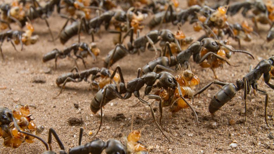 ჭიანჭველები, რომლებიც დაჭრილ თანამებრძოლებს მკურნალობენ - პირველი შემთხვევა მწერებში