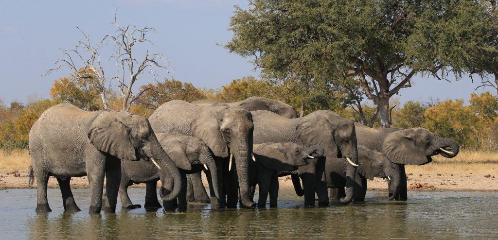 რატომ არ ავადდებიან სპილოები კიბოთი - აღმოჩენა, რომელიც შესაძლოა, კიბოს დამარცხებაში დაგვეხმაროს