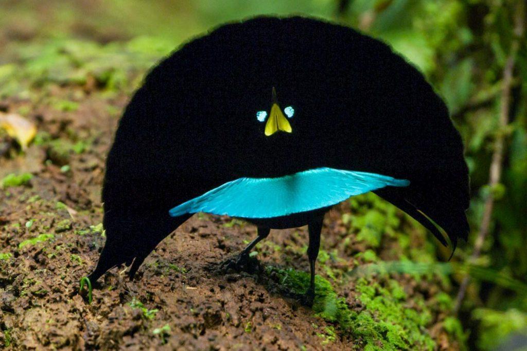 აღმოჩენილია სამოთხის ჩიტების ახალი, ულამაზესი სახეობა