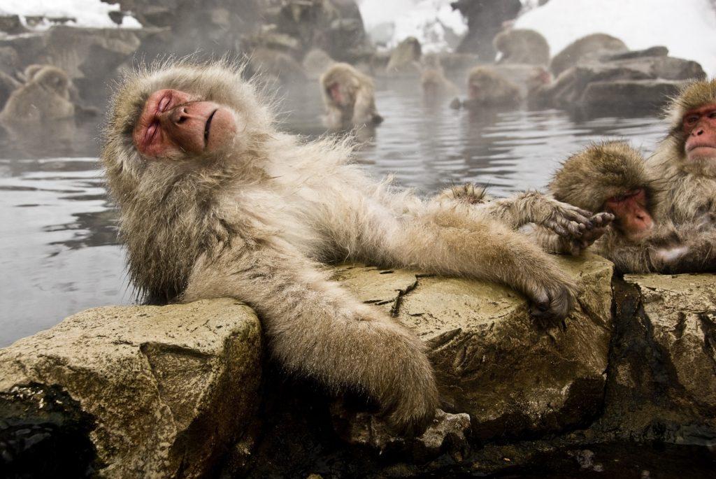 თოვლის მაიმუნები ცხელ წყალში სტრესის მოსახსნელად ბანაობენ