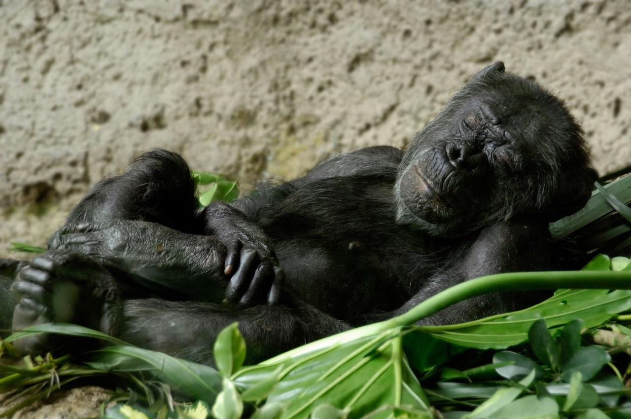 ადამიანის საწოლი უფრო ბინძურია, ვიდრე შიმპანზეების ბუნაგი - ახალი კვლევა