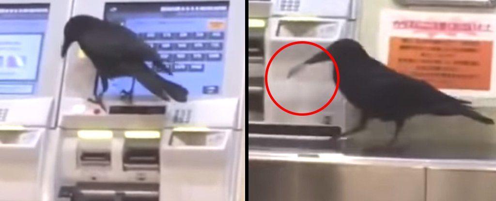 იაპონიაში ყვავმა საკრედიტო ბარათი მოიპარა და მატარებლის ბილეთის ყიდვას ცდილობდა [ვიდეო]