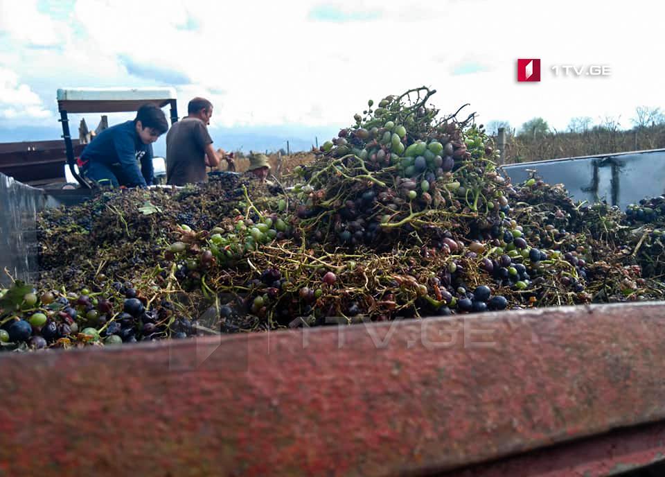 კახეთში ამ დროისთვის 60 ათას ტონაზე მეტი ყურძენია გადამუშავებული, მოსახლეობის შემოსავალმა 110 მილიონ ლარს მიაღწია