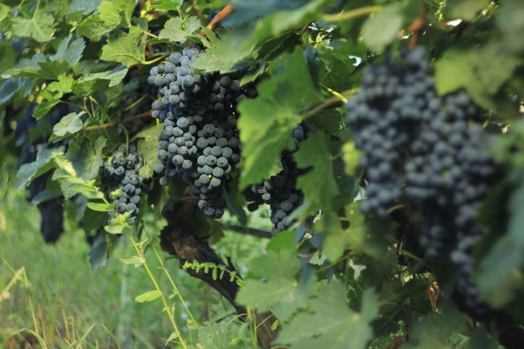 По информации Национального агентства вина, доход виноградарей в Кахети превысил 70 миллионов лари