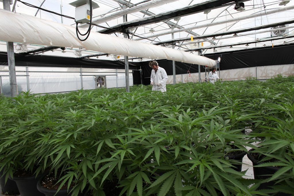 Стоимость лицензионного сбора в связи с легальным оборотом выращивания конопли, составит 25 000 лари