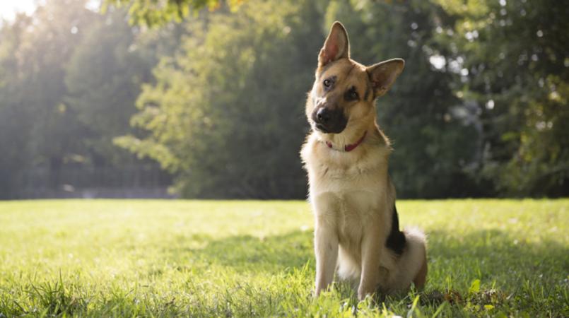 ძაღლებს შესაძლოა, ადამიანთა სიტყვები საკმაოდ კარგად ესმით - ახალი კვლევა