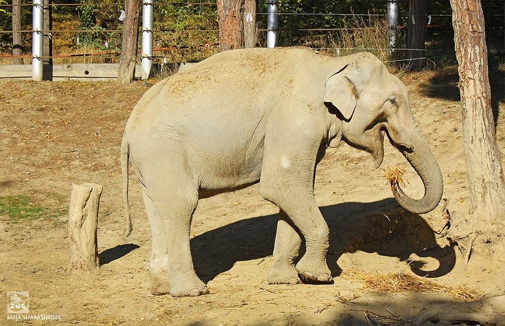 """თბილისში სპილო """"გრანდის"""" ოპერაციისთვის ვეტექიმი და ანესთეზიოლოგი სამხრეთ აფრიკიდან ჩამოვლენ"""