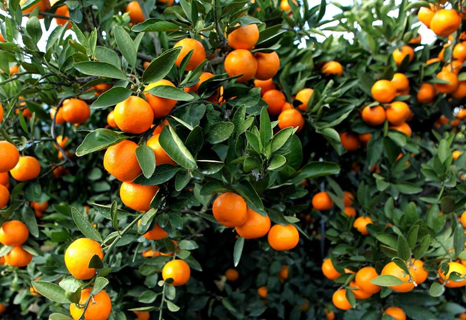 Amount of exported tangerines amounted 28, 855 tons
