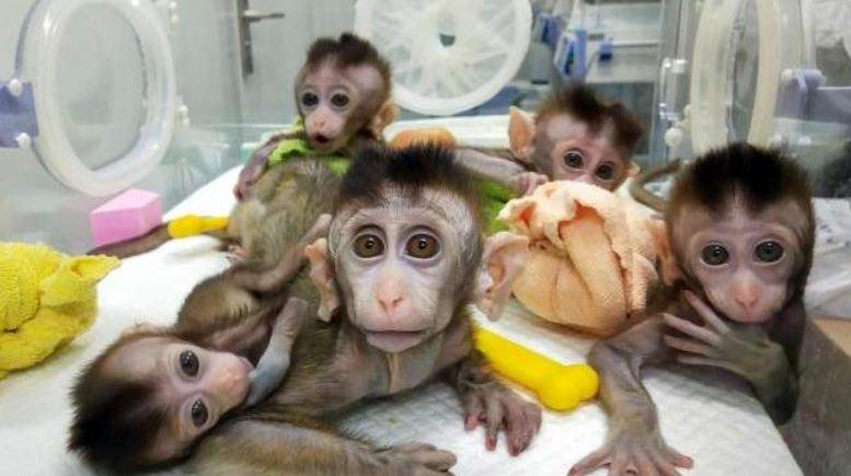 ჩინეთში მაიმუნის გენეტიკურად მოდიფიცირებული კლონები შექმნეს - პირველად ისტორიაში