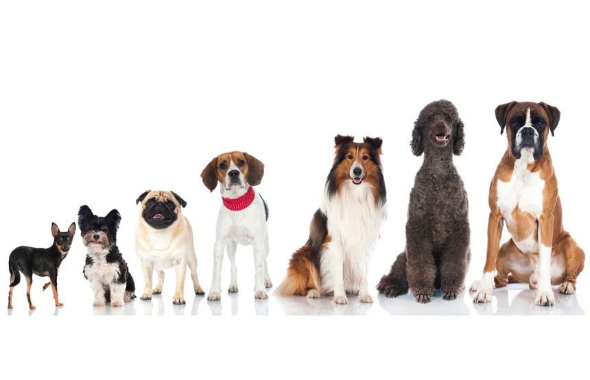 არიან თუ არა დიდი ძაღლები პატარებზე ჭკვიანები - ახალი კვლევის პასუხი