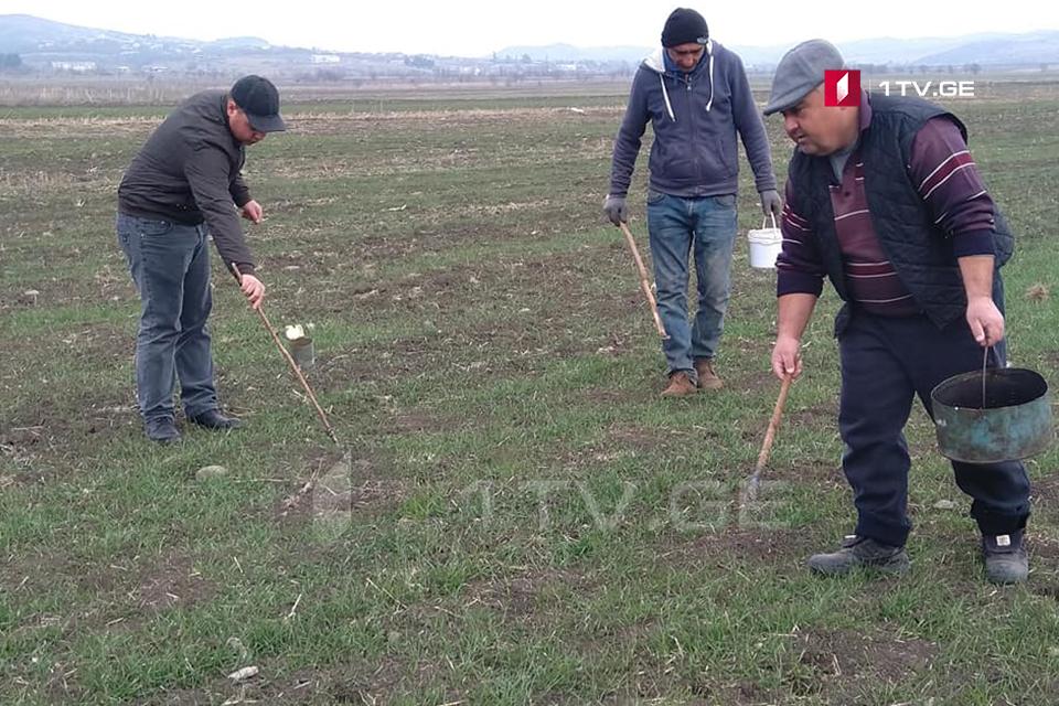 შირაქისა და ტარიბანას ველებზე მღრღნელებისგან დაზარალებული ფერმერები დახმარებას ითხოვენ