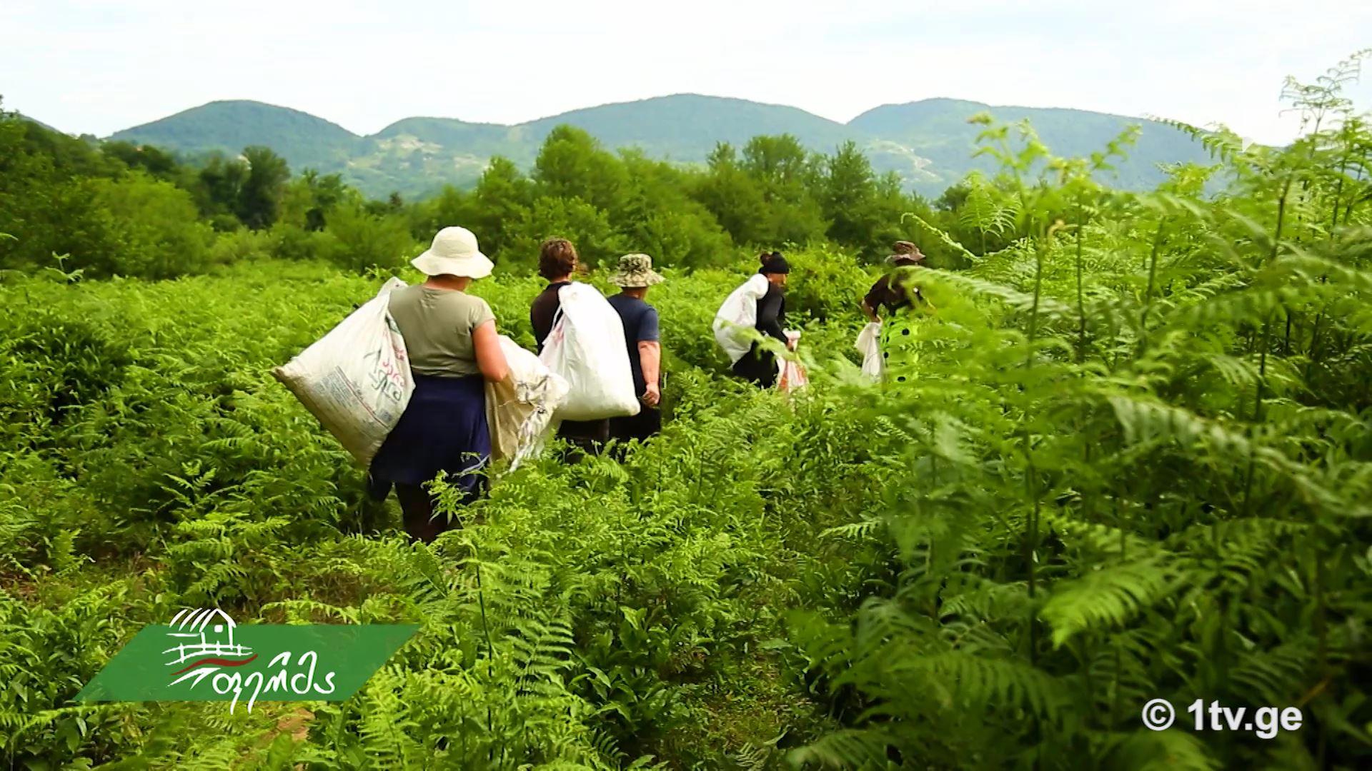 ჩვენი ფერმა - ჩაის პლანტაციების რეაბილიტაცია