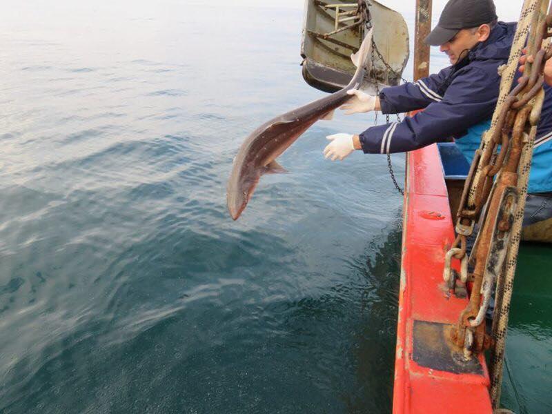 Пойманную во время экспедиции раненую акулу вернули в Черное море