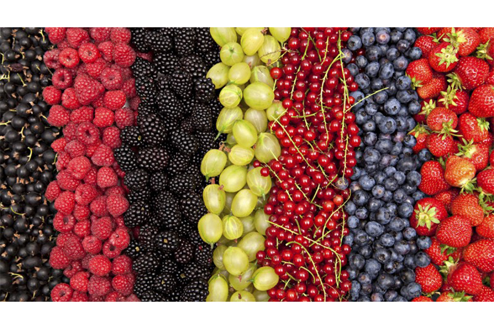 ჩვენი ფერმა - ბიოკენკრის წარმოება და კენკრის ბიზნესი
