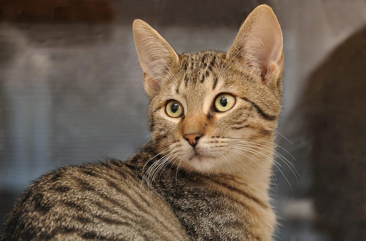 კატებმა ძალიან კარგად იციან თავიანთი სახელები, მაგრამ უბრალოდ არ გვიმჩნევენ - ახალი კვლევა