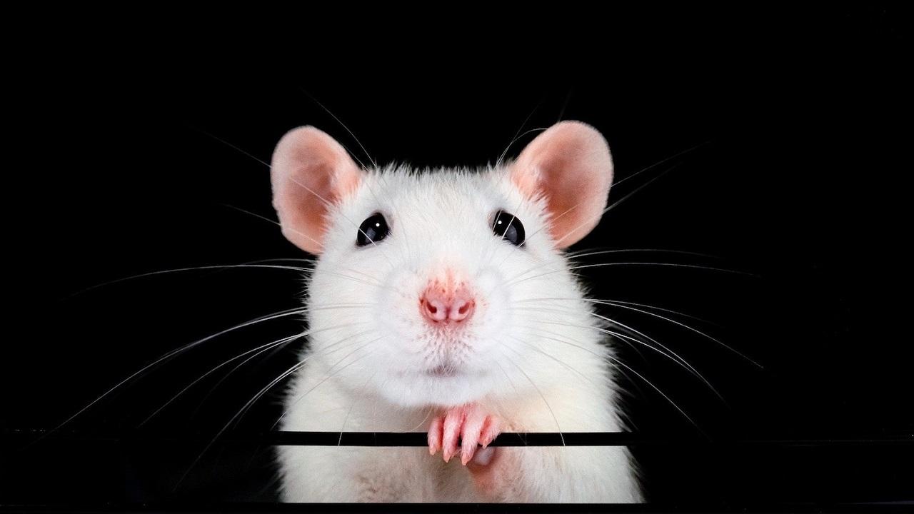 ცხვირში ღეროვანი უჯრედების შესხურების შემდეგ თაგვებს დაკარგული ყნოსვა აღუდგათ