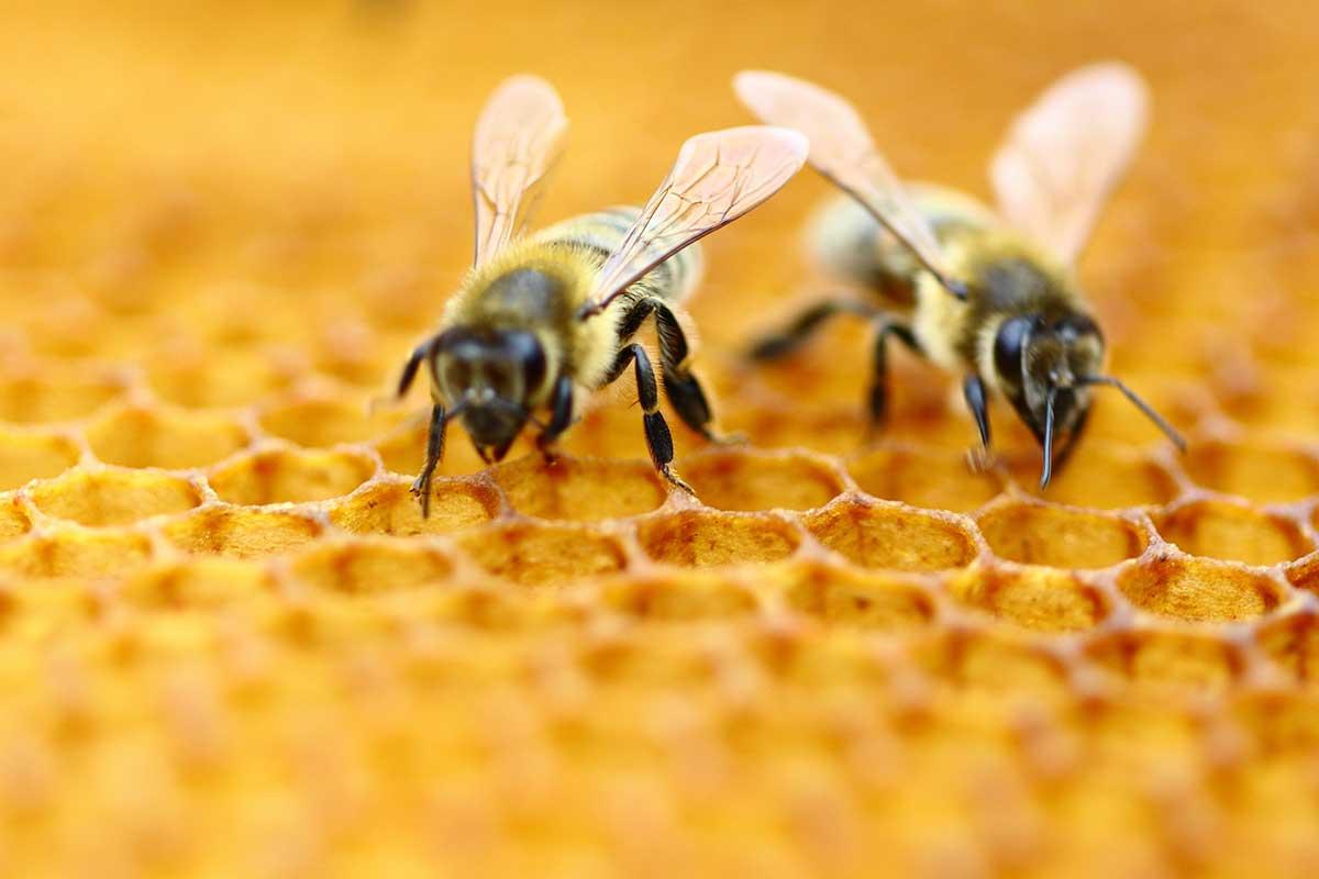 ფუტკრებს ციფრების აღქმა შეუძლიათ - ახალი ექსპერიმენტი