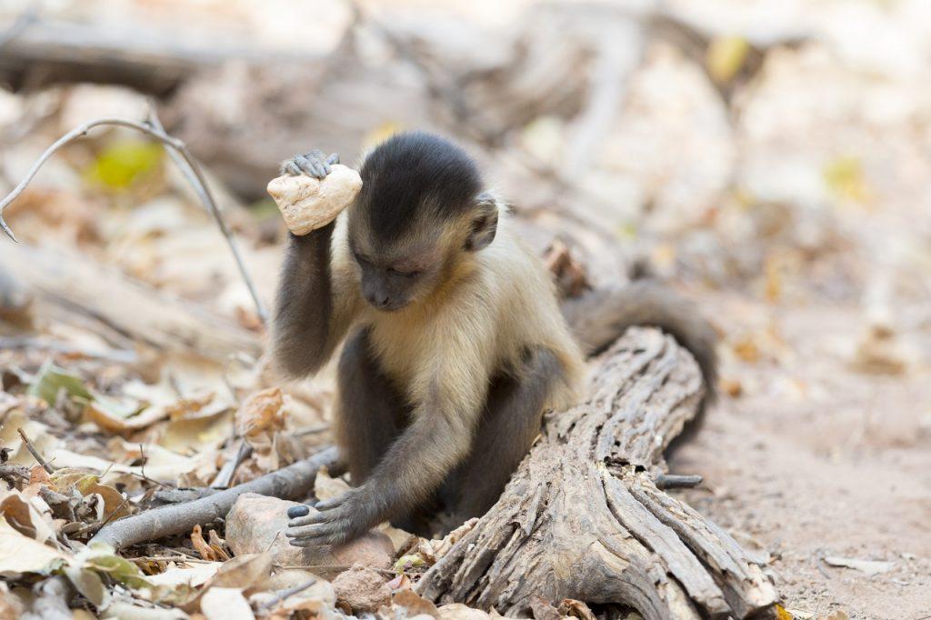 """კაპუცინი მაიმუნები შესაძლოა, საკუთარ """"ქვის ხანაში"""" იმყოფებიან - ახალი კვლევა"""