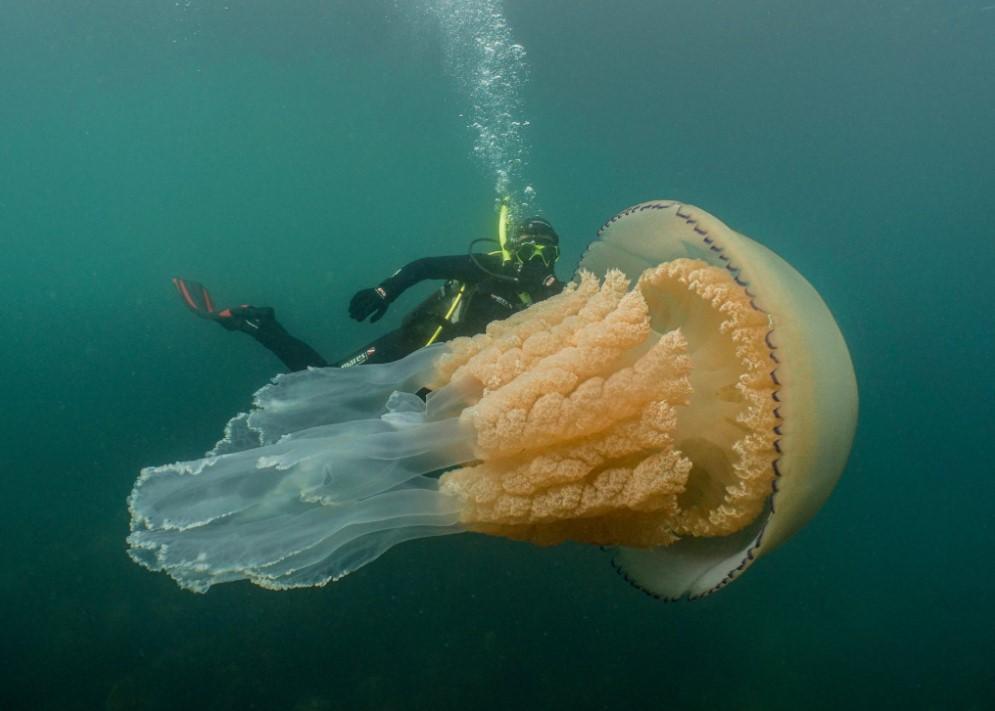 ბრიტანეთის სანაპიროსთან ადამიანზე დიდი ზომის მედუზა დააფიქსირეს [ვიდეო]