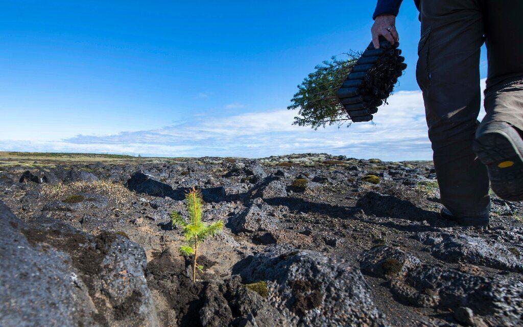 ისლანდია საუკუნეების წინ ვიკინგების მიერ განადგურებული ტყეების აღდგენას ცდილობს