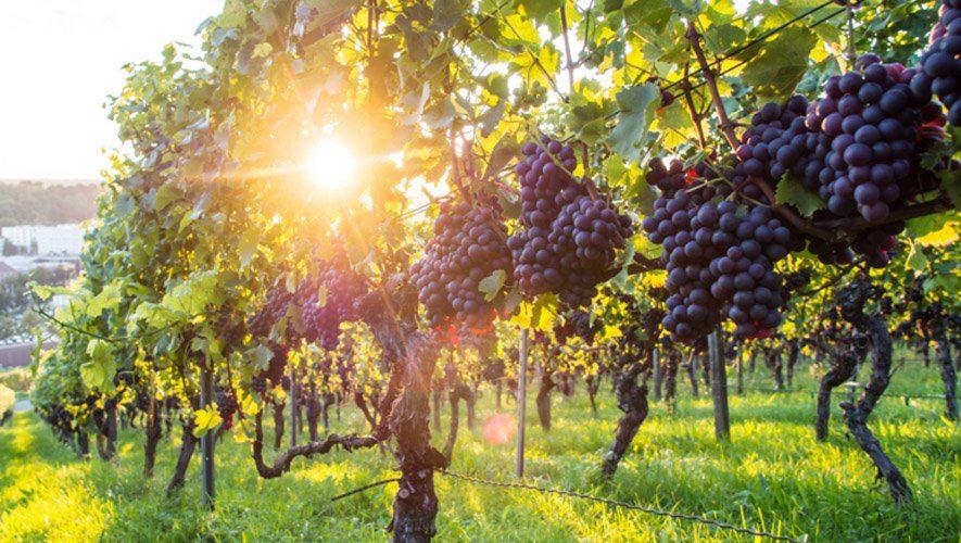 """წელს """"ქინძმარაულის"""", """"ახაშენის"""", """"ყვარლის"""" და """"მუკუზანის"""" მიკროზონების ყურძენს მხოლოდ ვენახების კადასტრის ამონაწერის საფუძველზე ჩაიბარებენ"""