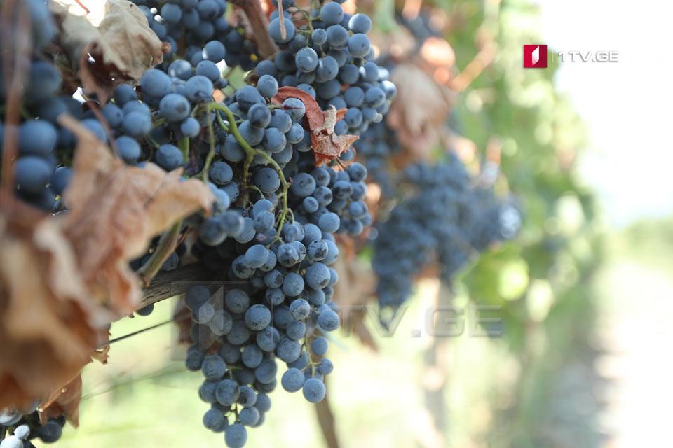 რაჭაში 1 000 ტონაზე მეტი ყურძენია გადამუშავებული