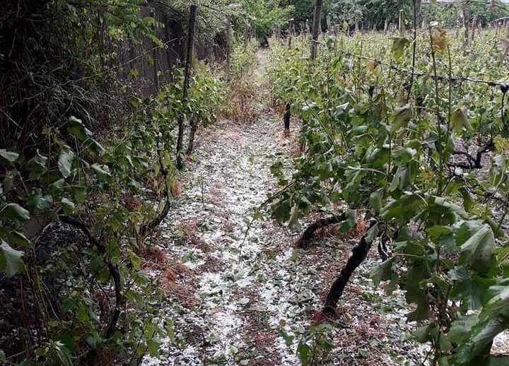 კახეთში სეტყვით დაზარალებული სოფლების ყურძენს წნორისა და ჭანდარის ღვინის ქარხნები ჩაიბარებენ