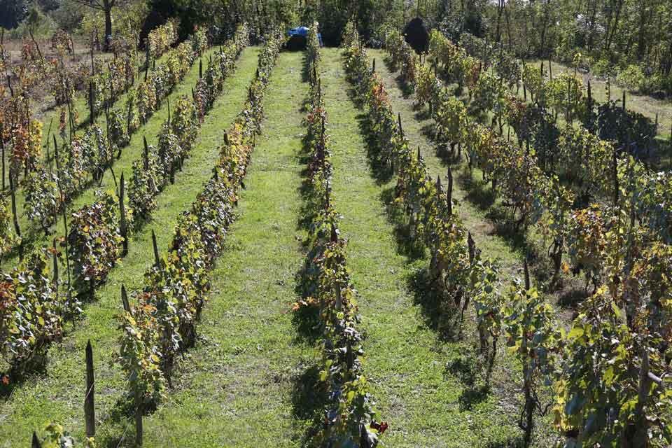 რაჭაში რთველი გრძელდება, ჩაბარებულია 1500 ტონამდე ყურძენი