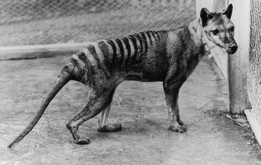 კუნძულ ტასმანიაზე სავარაუდოდ შენიშნეს ცხოველი, რომელიც ოფიციალური მონაცემებით 80 წლის წინ გადაშენდა