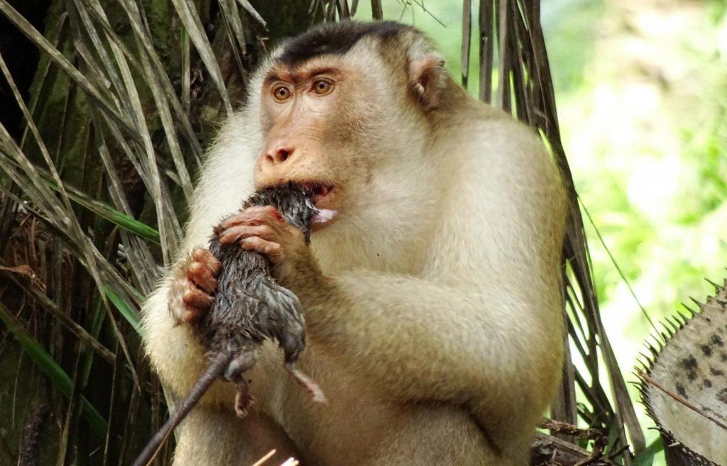 მაიმუნებმა პალმის ზეთის პლანტაციებში ვირთხების ჭამა დაიწყეს