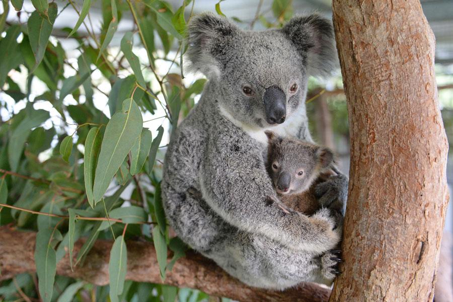 სპეციალისტები არ გამორიცხავენ, რომ ავსტრალიაში ტყისხანძარმა ასობით კოალასსიცოცხლე შეიწირა