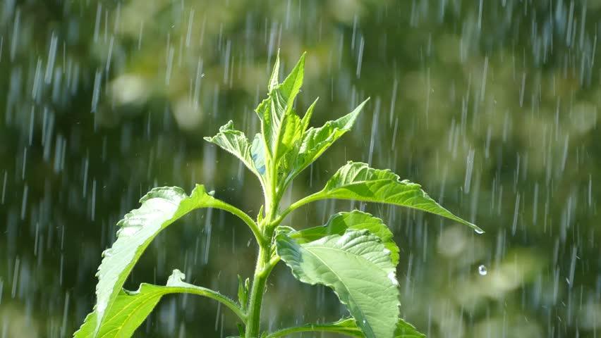 წვიმის დროს მცენარეები პანიკაში ვარდებიან — ახალი კვლევა