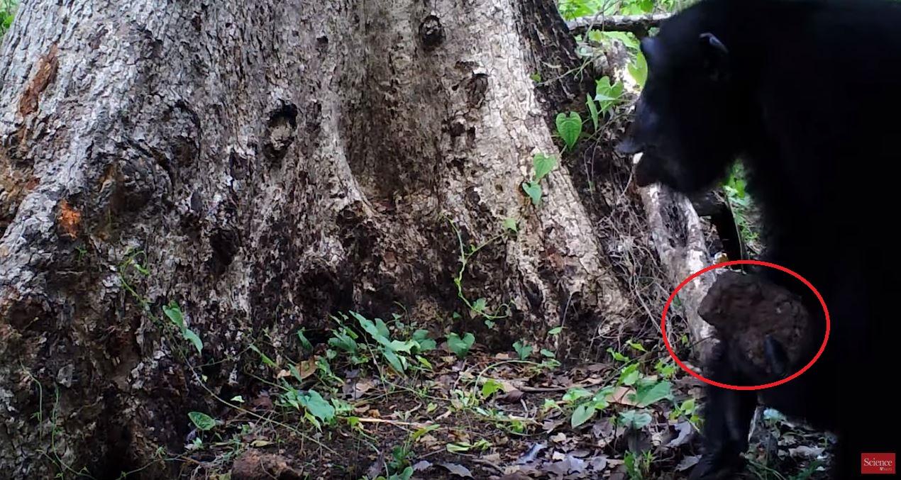 მეცნიერებმა დააფიქსირეს, როგორ ესვრიან შიმპანზეები ხეებს ქვებს და ყვირიან — მიზეზი ჯერ უცნობია