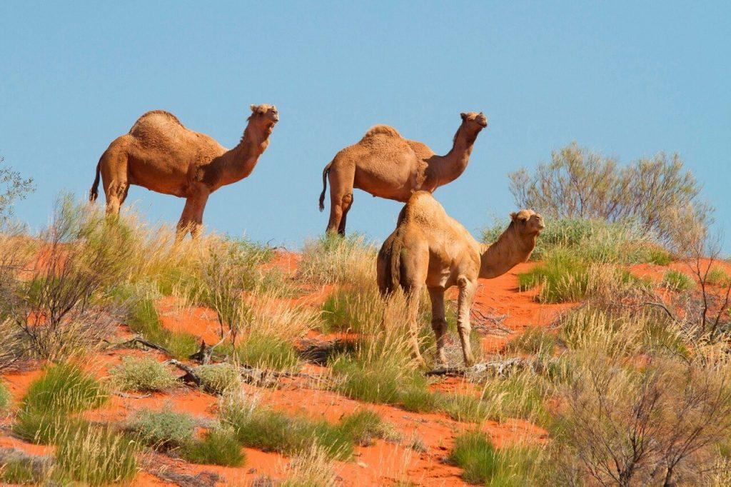 როდის და როგორ მოხვდნენ აქლემები ავსტრალიაში — კუზიანი ცხოველების სევდიანი ისტორია მწვანე კონტინენტზე