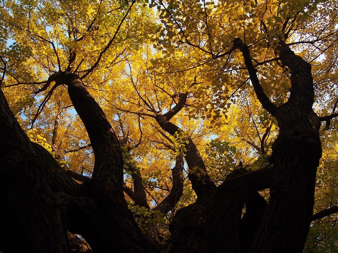 უძველესი სახეობის თითქმის უკვდავი ხეების დღეგრძელობის საიდუმლო ამოხსნილია