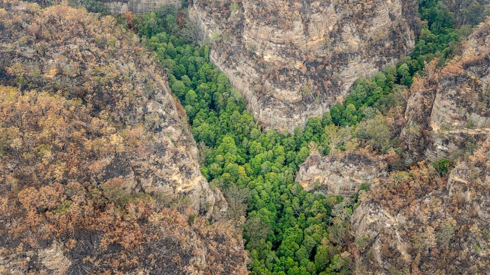 """საიდუმლო მისიამ ავსტრალიის უკანასკნელი """"დინოზავრის ხეები"""" ხანძრისგან გადაარჩინა"""