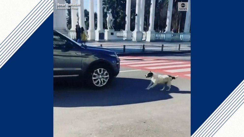 """""""ეიბისი ნიუსი"""" ავრცელებს ბათუმში გადაღებულ ვიდეოს, როგორ ეხმარება ძაღლი ბავშვებს ქუჩის გადაკვეთაში"""