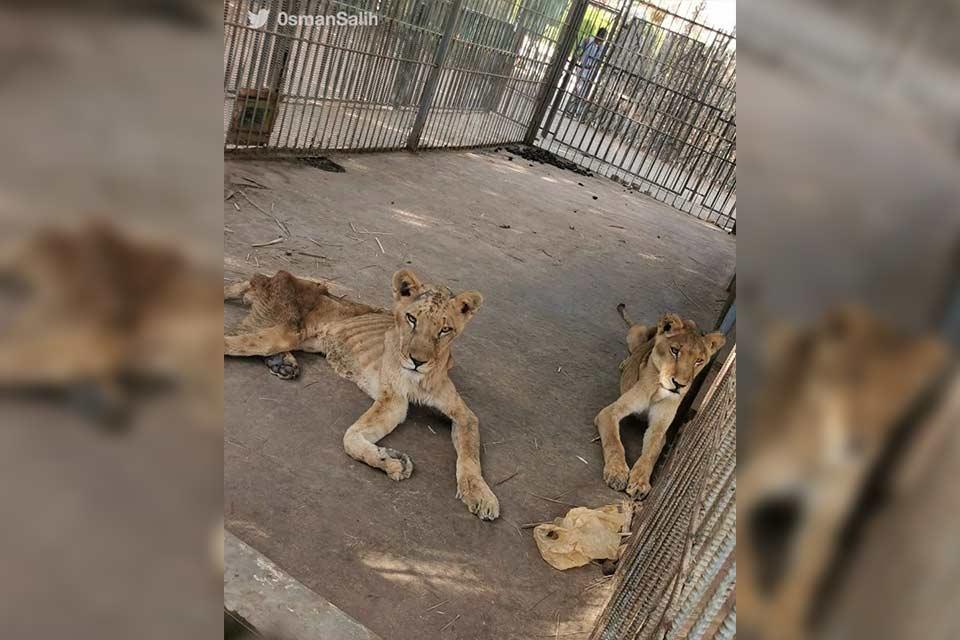 სუდანის ზოოპარკში ლომები შიმშილისგან იხოცებიან