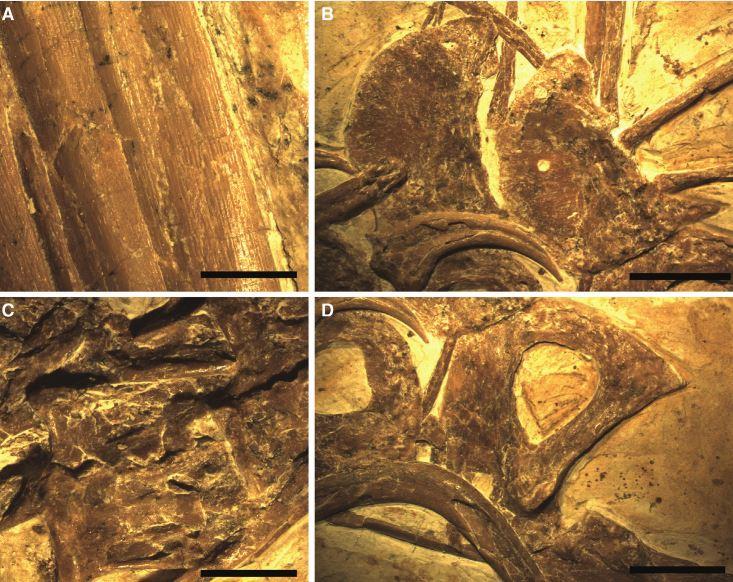 ახლად აღმოჩენილი დინოზავრის ნამარხი გვიჩვენებს, როგორ ჰგავდა მათი ბუმბულები თანამედროვე ფრინველებისას
