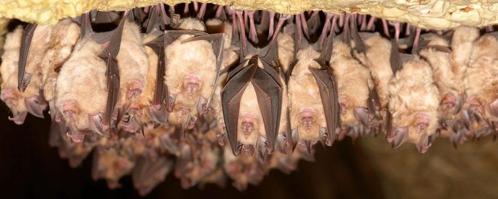 მეცნიერთა აზრით, ახალი კორონავირუსი ადამიანებში ღამურებისგან გავრცელდა