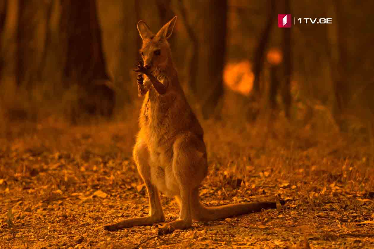 """""""ახალი კვირა"""" ავსტრალიის გადამწვარ ტყეებში"""