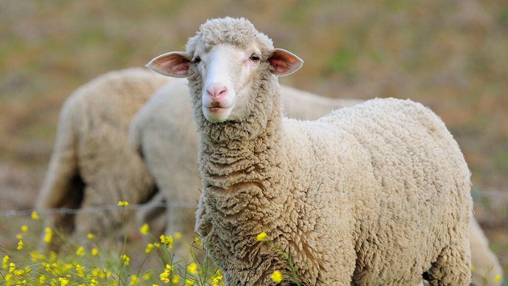 როგორ გვეხმარებიან ცხვრები და ბაქტერიები კორონავირუსის წინააღმდეგ ბრძოლაში