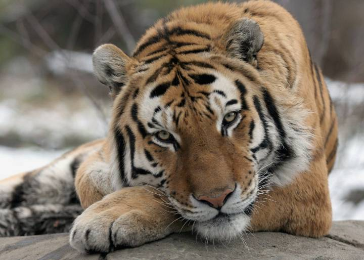 Tiger tests positive for COVID-19