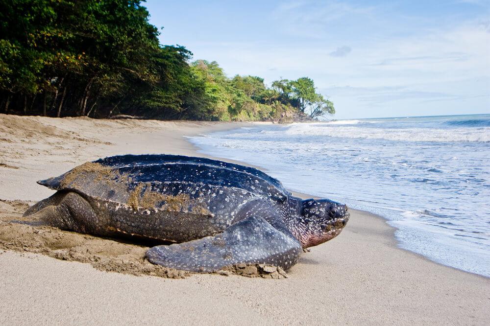 ადამიანებისგან მიტოვებულ პლაჟებზე უიშვიათესი გიგანტური კუები გამოჩნდნენ