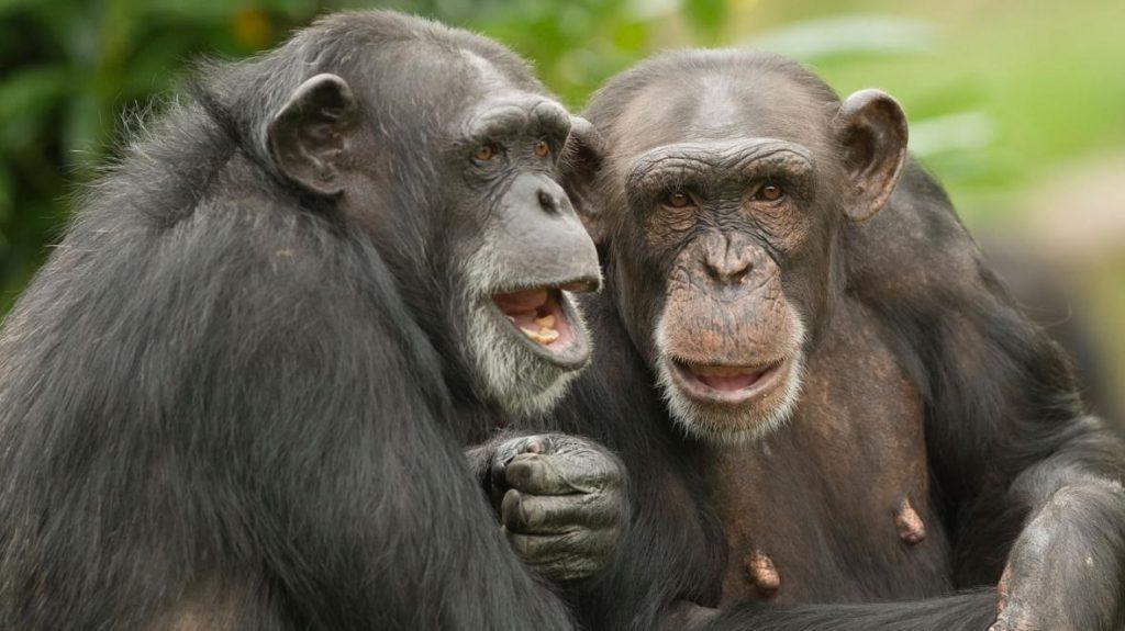 შიმპანზეები ტუჩებს ადამიანის მეტყველების მსგავსი რიტმებით ამოძრავებენ — ახალი კვლევა