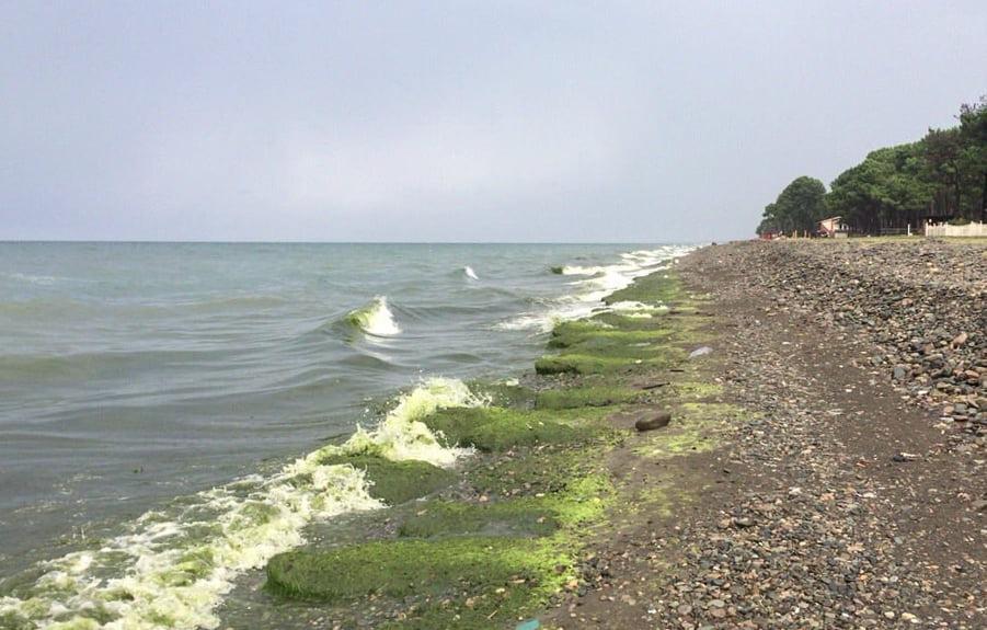 ფოთსა და ურეკში ზღვის წყალმცენარეების რაოდენობის მატებასთან დაკავშირებით კვლევა მიმდინარეობს