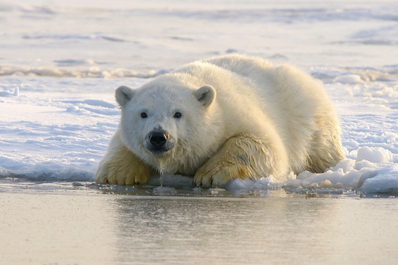 კლიმატის ცვლილების გამო, პოლარულ დათვებს 2100 წლისთვის გადაშენება ემუქრებათ — ახალი კვლევა #1TVმეცნიერება