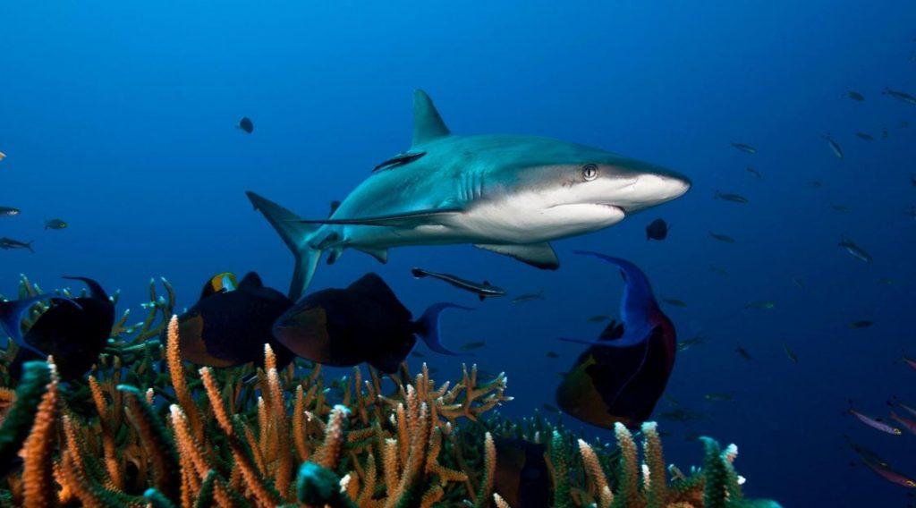 ოკეანეების მრავალ ნაწილში ზვიგენები თითქმის გადაშენდნენ — ახალი კვლევა #1tvმეცნირება
